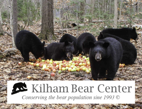 Kilham Bear Center: Rehabilitating the Northeast's Orphaned Cubs