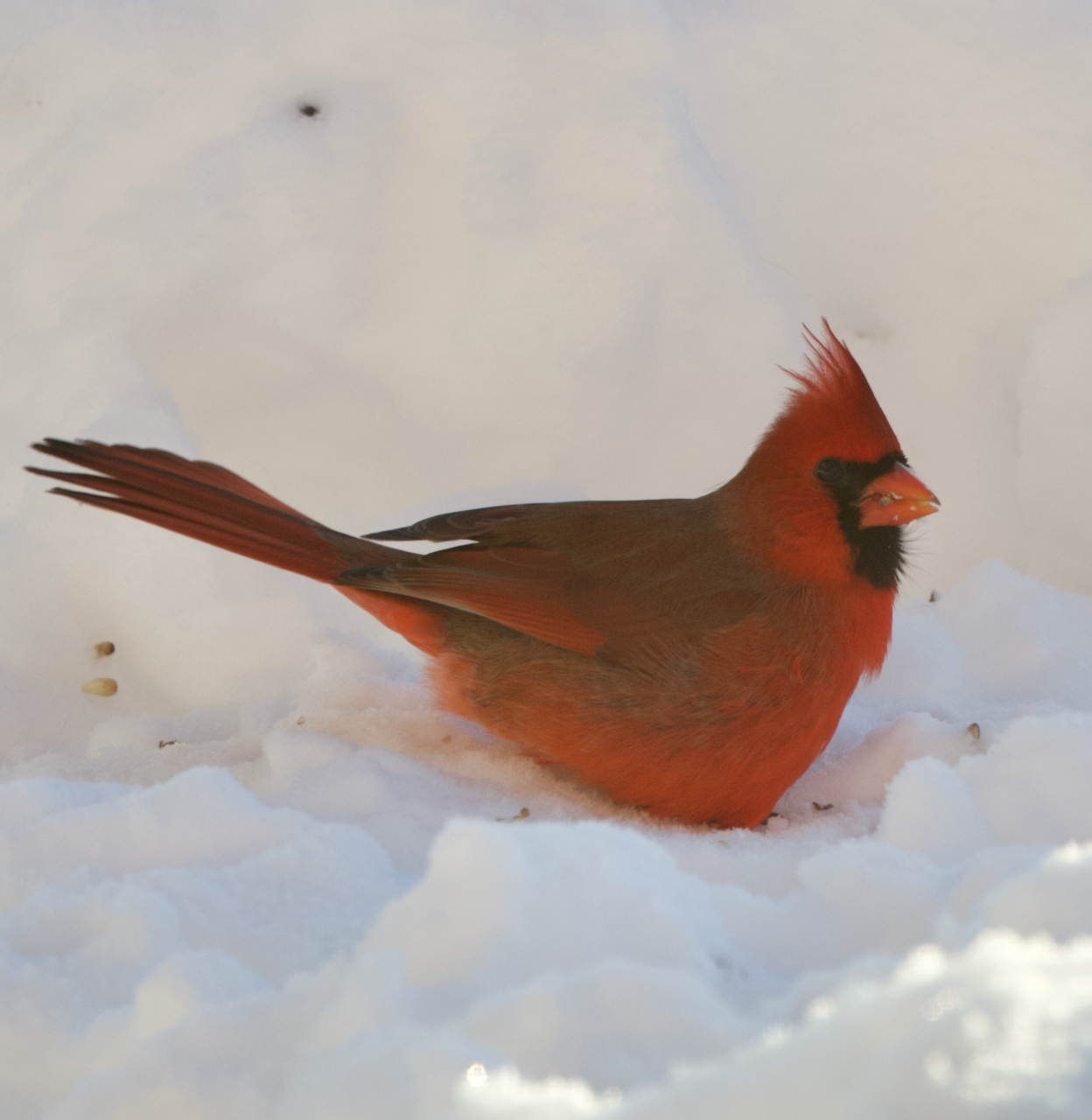 Northern Cardinal, Photo Credit: Northern Woodlands