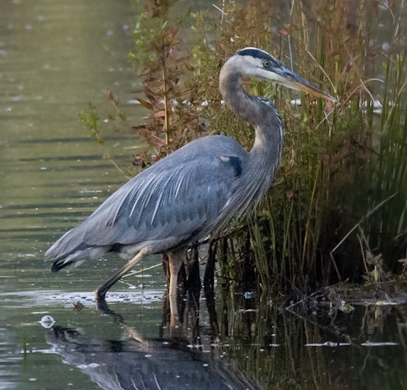 Great Blue Heron, Photo Credit: Northern Woodlands